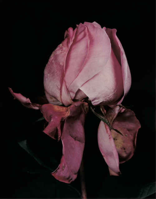rose by david sims